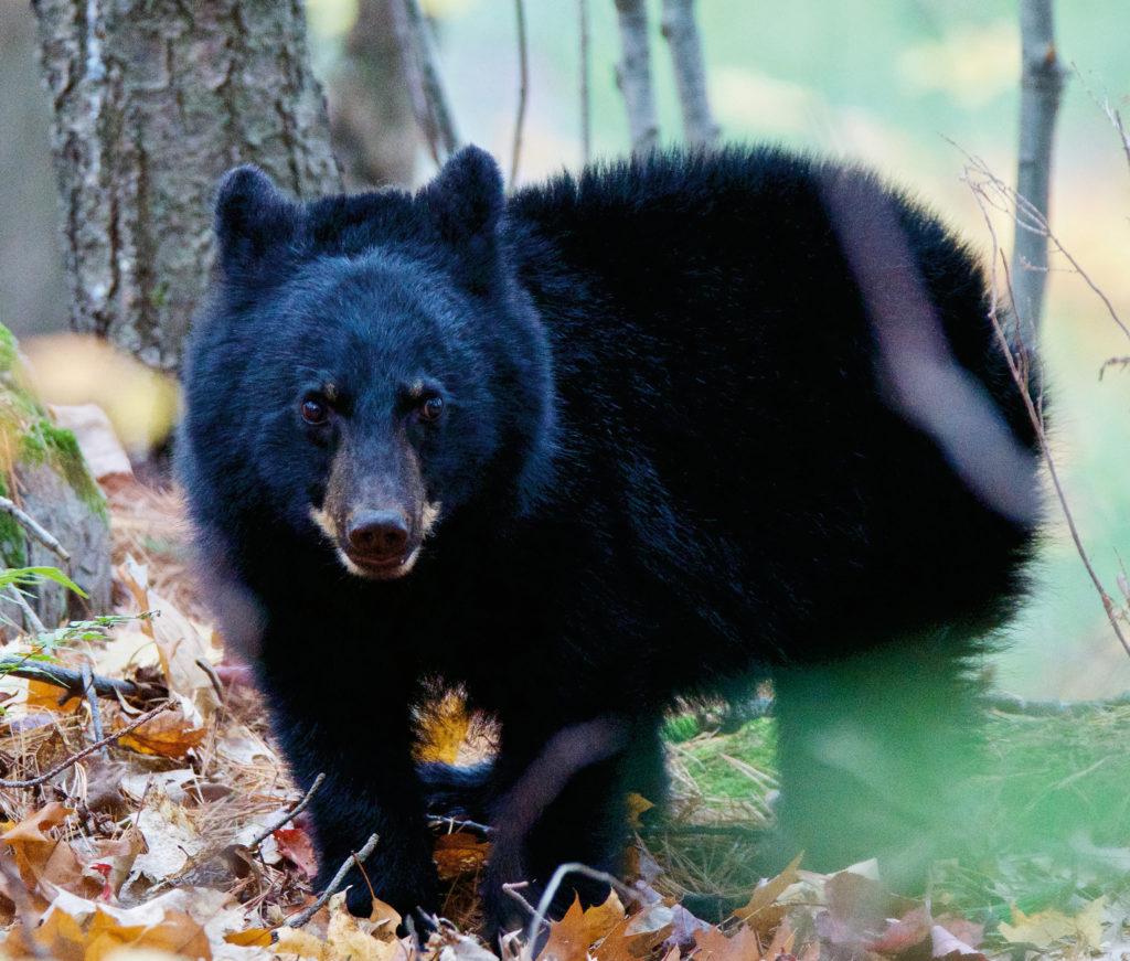 Tracking Bear 3129